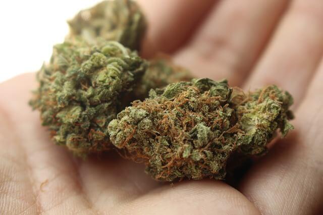 weed sativa cannabis