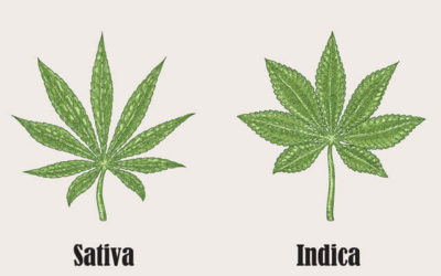 The Differences Between Indica, Sativa, And Hybrids; And Why it Matters